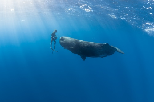 Sperm Whale in the Indian Ocean.