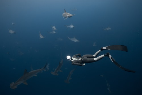Schooling hammerheads around the island of Malpelo, Colombia.