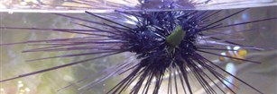 Invasion Of Long Spined Black Sea Urchins In Tenerife