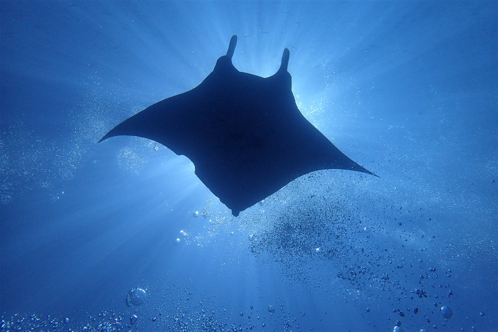 Reef Manta Ray Photo in Camel Rock  in the Maldives
