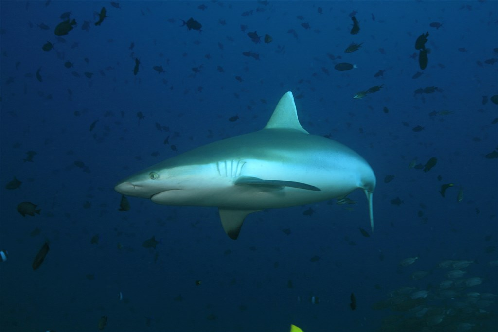 Blacktail Reef Shark Photo in Kandooma Thila in the Maldives