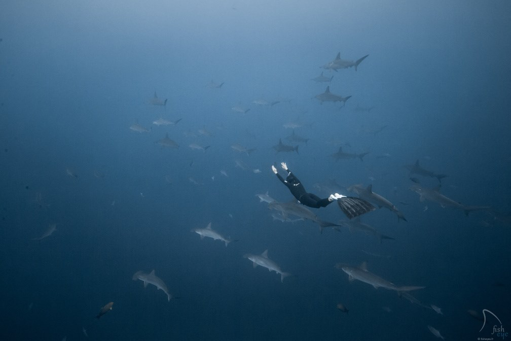 Scalloped Hammerhead Photo in Colombia