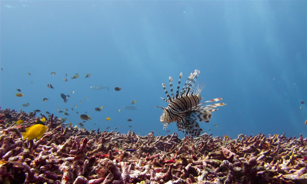 Red Lionfish Photo in Fantasea Reef in Thailand