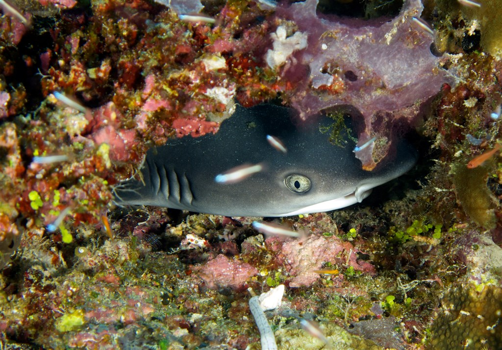 Whitetip Reef Shark Photo in Gili Mimpang in Indonesia