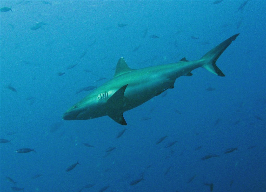 Blacktail Reef Shark Photo in Helengeli Thila in the Maldives