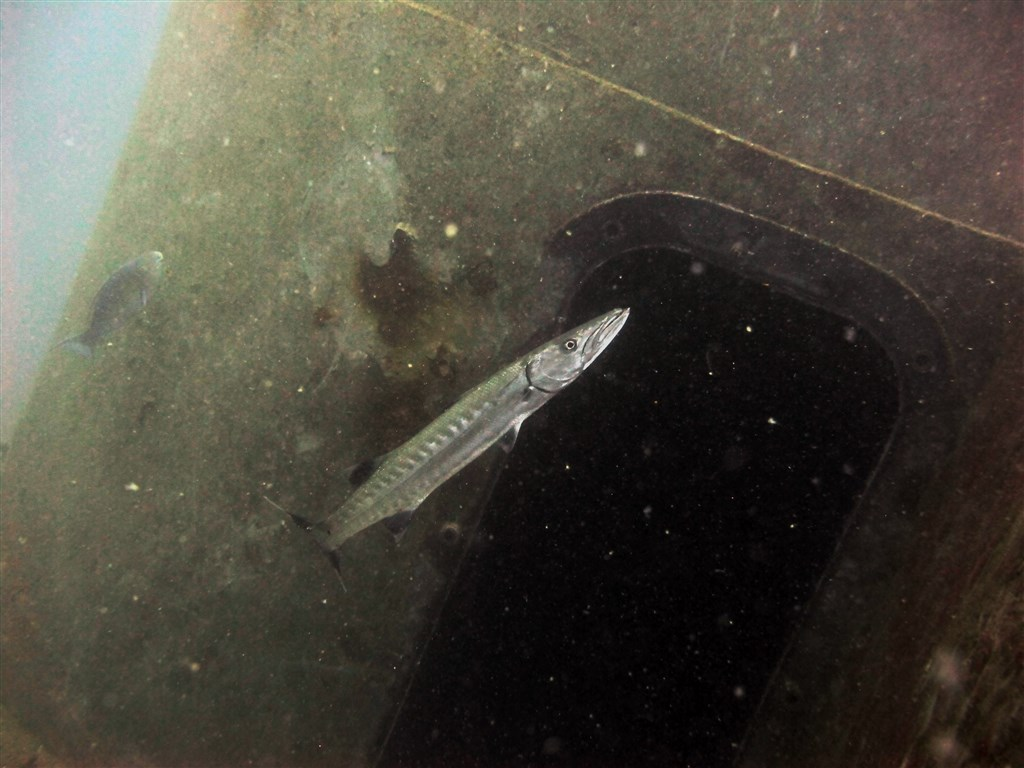 Great Barracuda Photo in HTMS Sattakut in Thailand