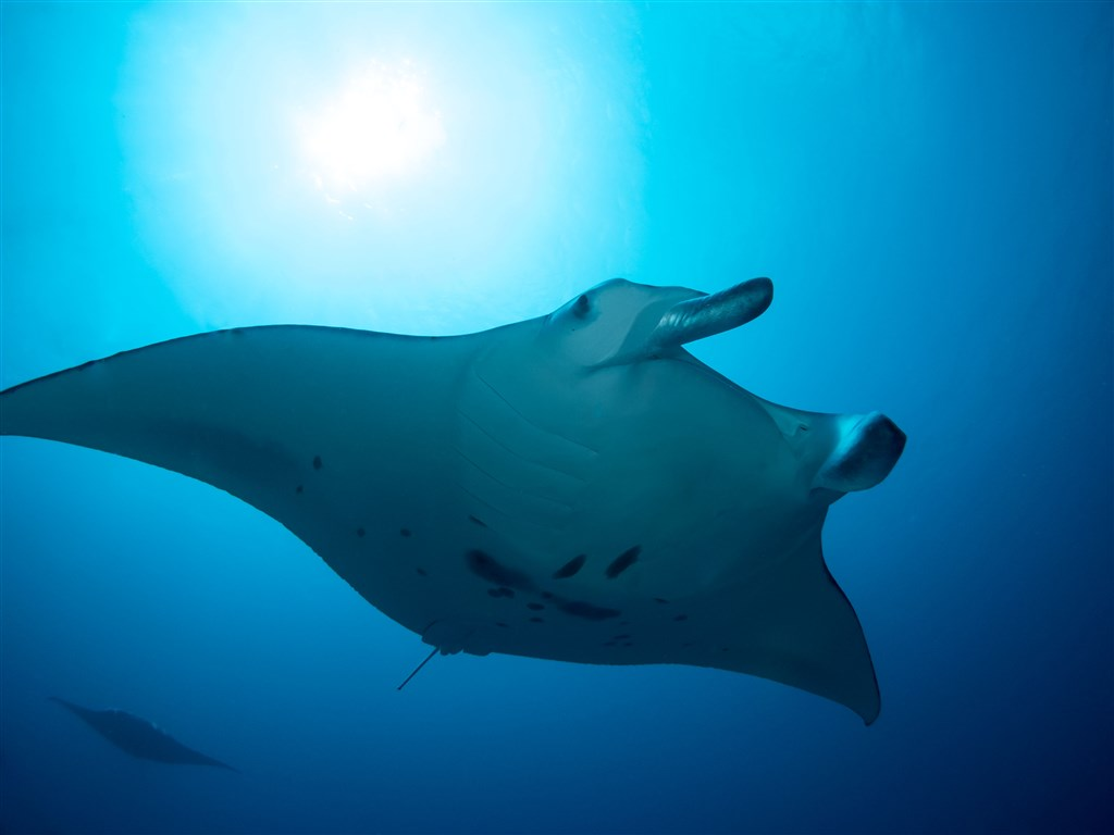 Reef Manta Ray Photo in Maa Corner Manta Point  in the Maldives