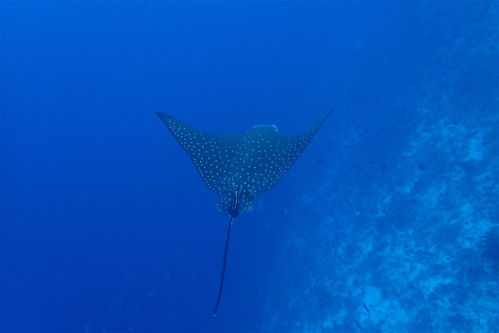 Spotted Eagle Ray Photo in Moofushi Beru in the Maldives