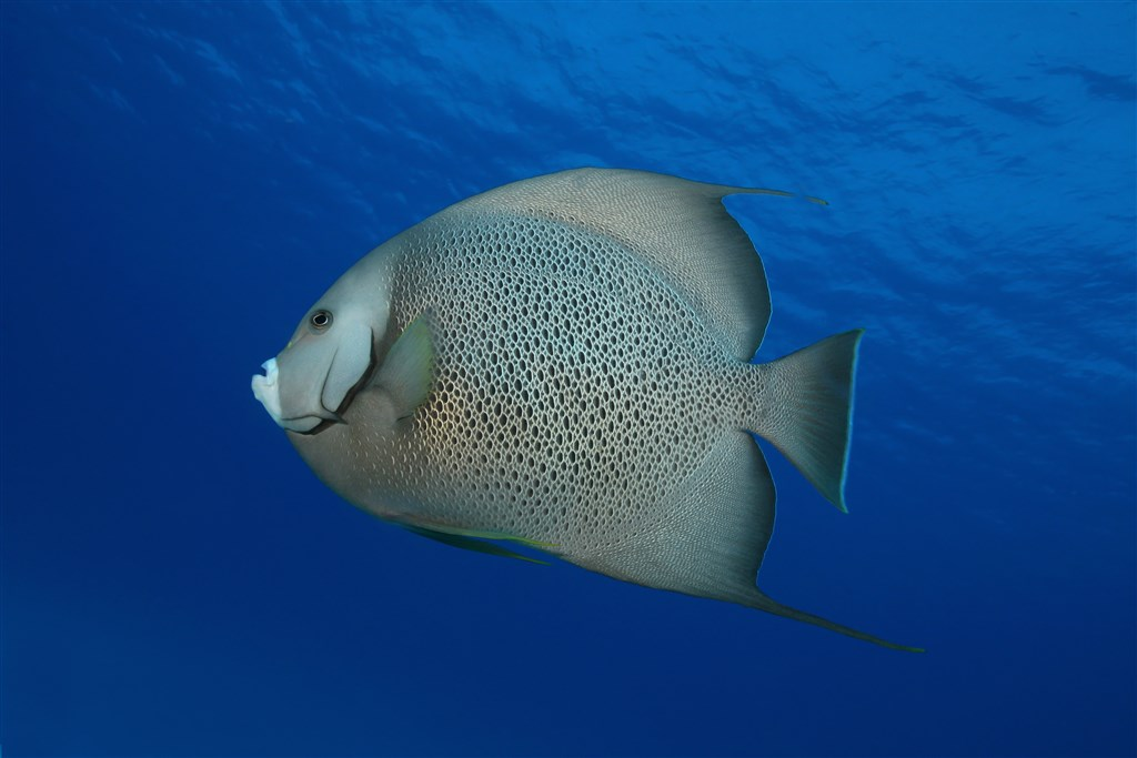 Atlantic Spadefish Photo in Palancar Bricks in Mexico