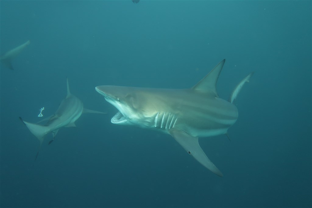 Blacktip Shark Photo in PROTEA BANKS Northern Pinnacle in South Africa
