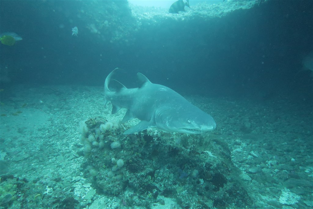 Sand Tiger Shark Photo in PROTEA BANKS Northern Pinnacle in South Africa