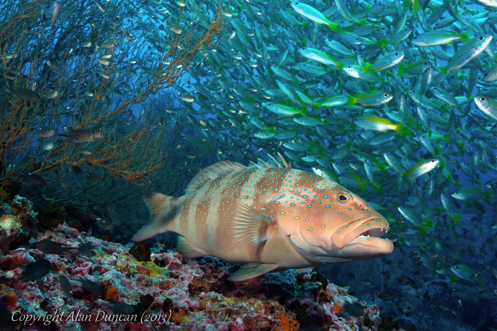 Leopard Coralgrouper Photo in Sail Rock  in Thailand