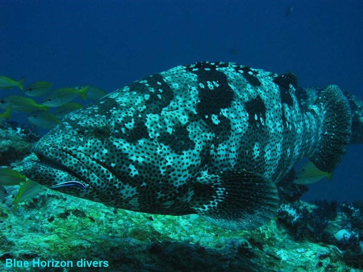 Malabar Grouper Photo in Sail Rock in Thailand