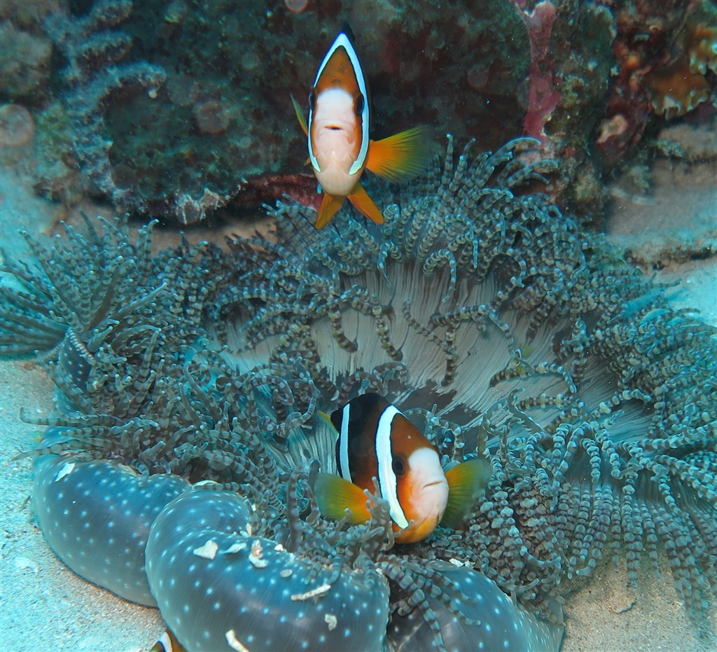 Poisson clown deux bandes photo siladen en indon sie - Raja laut dive resort ...