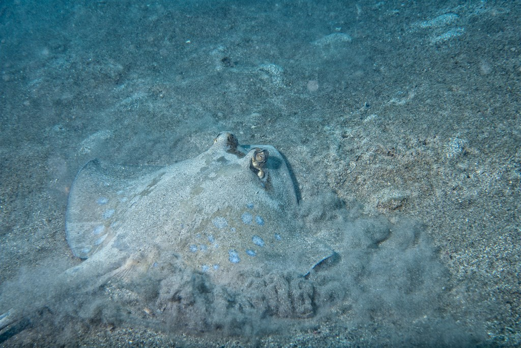 Ribbontail Stingray Photo in South Point in Malaysia