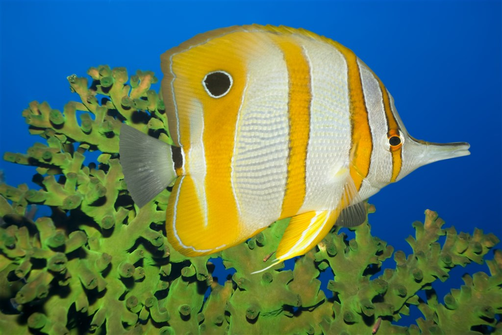 Longnose Butterflyfish Photo in South Point in Malaysia