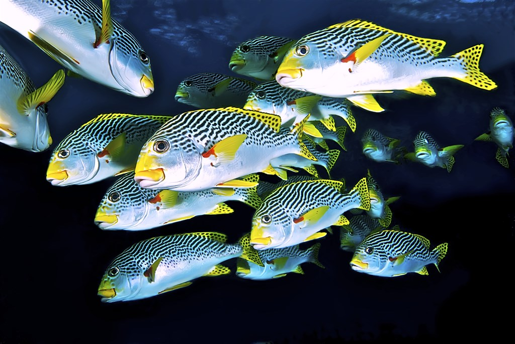 Yellowbanded Sweetlips Photo in Steve's Bommie in Australia