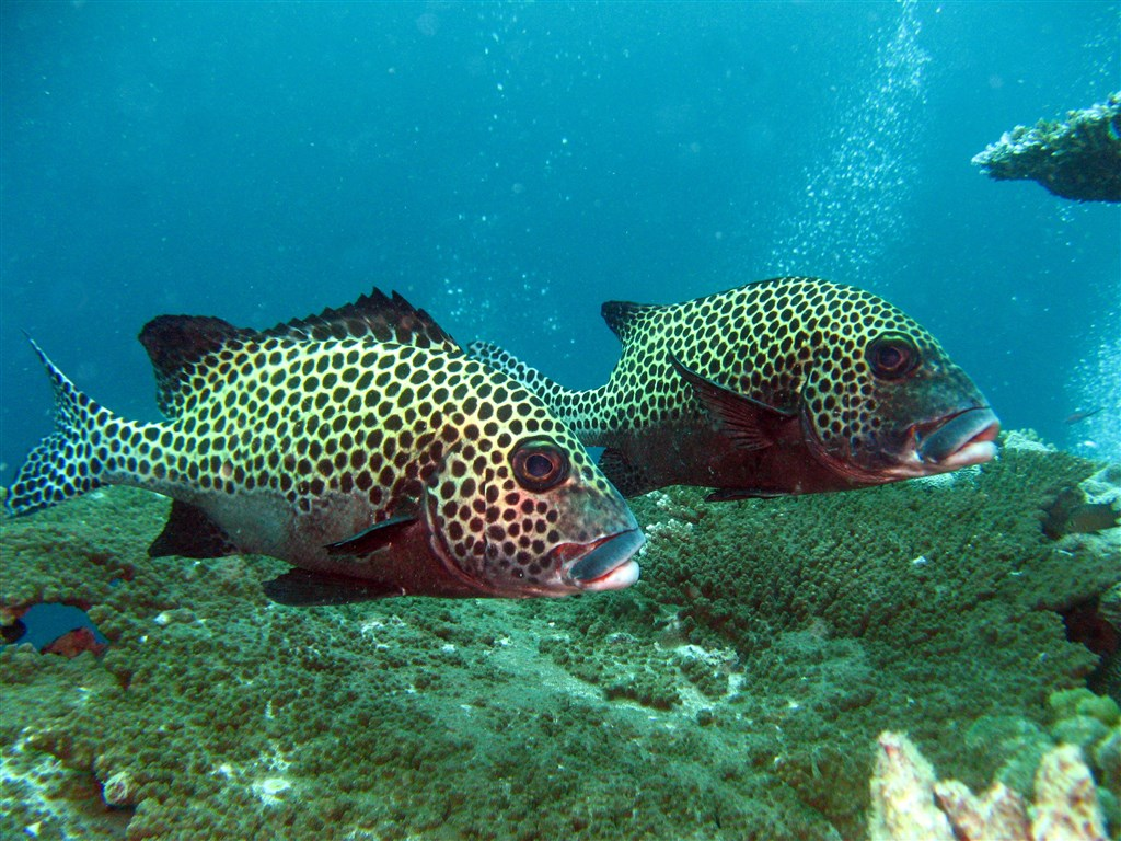 Harlequin Sweetlips Photo in Turtle Patch in Malaysia