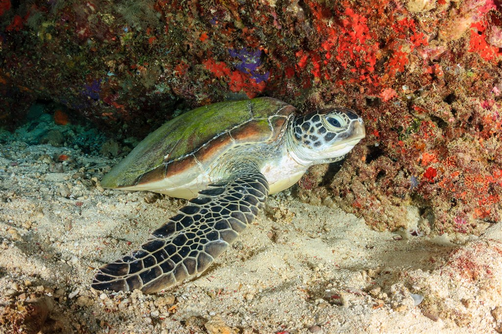 Scuba Diving Photo in Turtle Patch in Malaysia