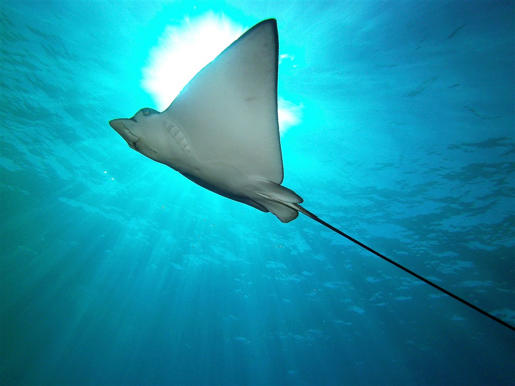 Spotted Eagle Ray Photo in Two Step, Honaunau Bay, Big Island  in United States
