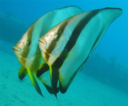 Longfin batfish in Egypt