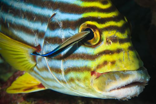 Striped sweetlips in the Maldives