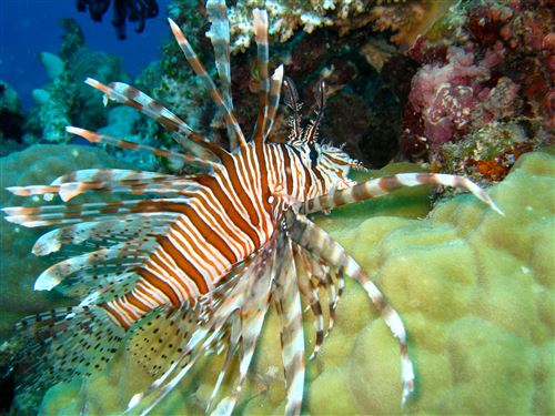 Red lionfish in Australia