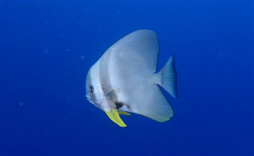Longfin batfish in the Maldives