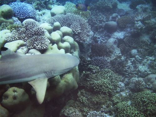 Blacktip reef shark in the Maldives