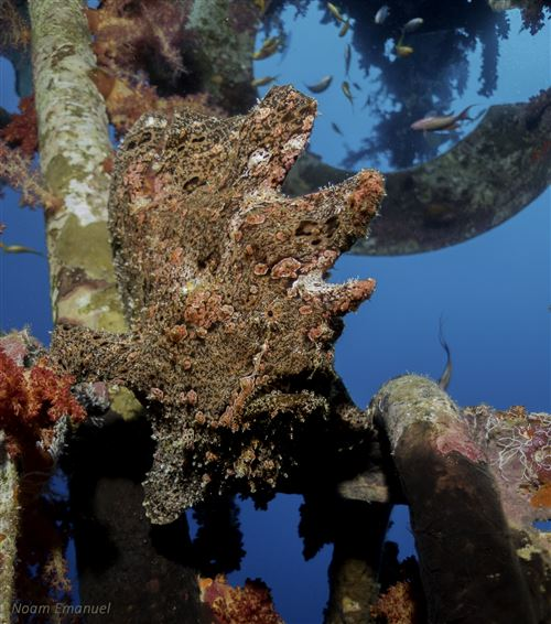 New Guinean frogfish in Israel