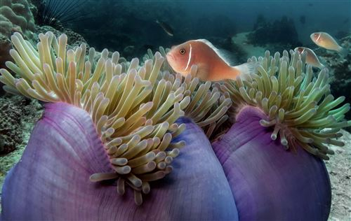 Pink anemonefish in Thailand