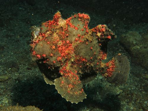 Commerson's frogfish in Indonesia