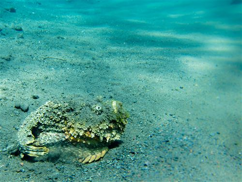 Stonefish in Indonesia