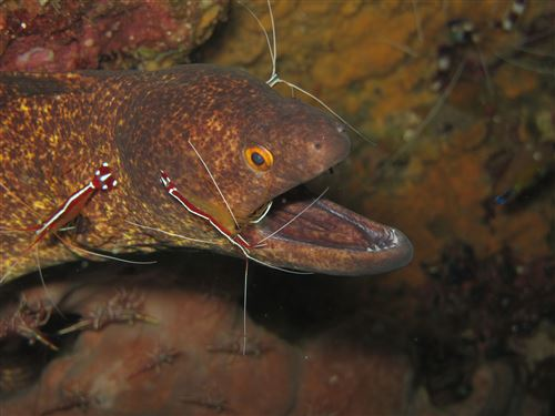 Yellow-edged moray in Indonesia