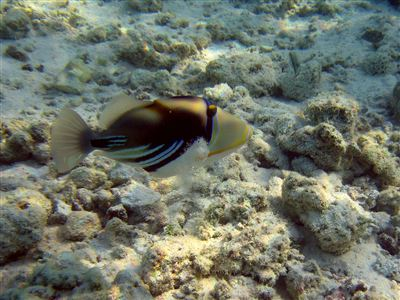 White-banded triggerfish in the Maldives