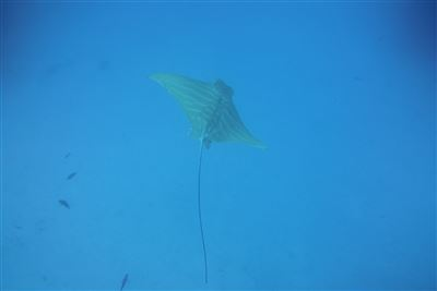 Butterfly ray in Spain
