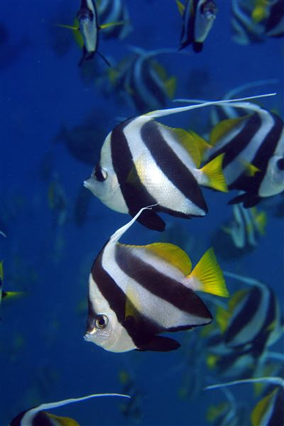 Pennant coralfish in the Maldives