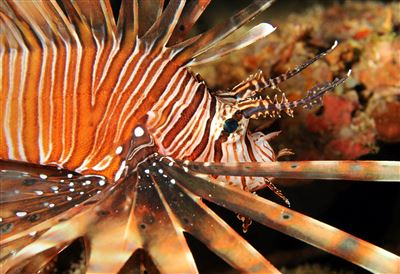Red lionfish in the Maldives