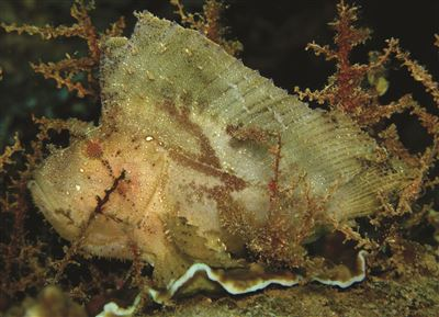 Leaf scorpionfish in the Maldives