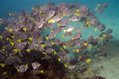 Yellow tang in Ecuador