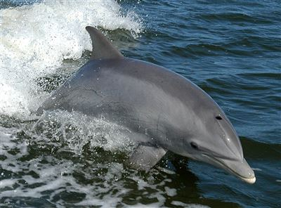 Bottlenose dolphin in Egypt