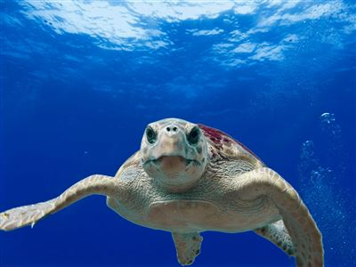 Loggerhead sea turtle in Egypt