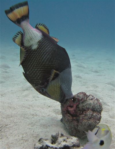 Titan triggerfish in Thailand