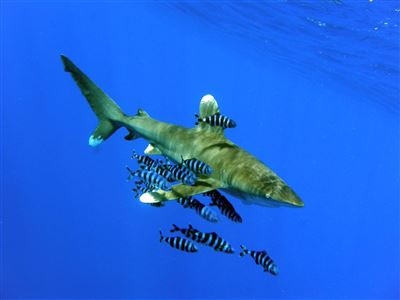 Oceanic whitetip shark in Egypt