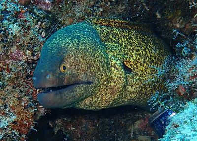 Yellow-edged moray in the Maldives