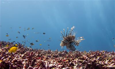 Red lionfish in Thailand