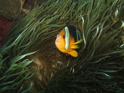 Orangefin anemonefish in Indonesia