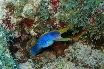Ribbon moray in the Maldives