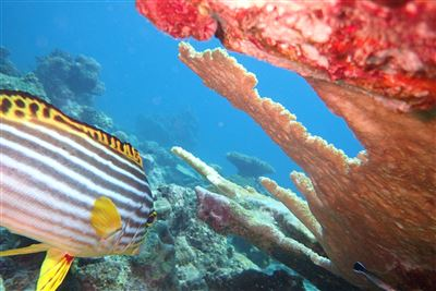 Indian Ocean oriental sweetlips aux Maldives