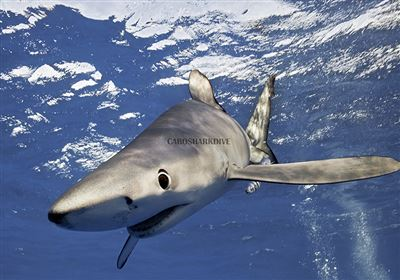 Blue shark in Mexiko